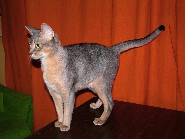 Абиссинская кошка голубой окрас