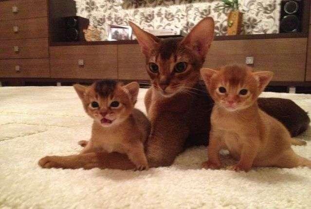 Абиссинская кошка корас сорель