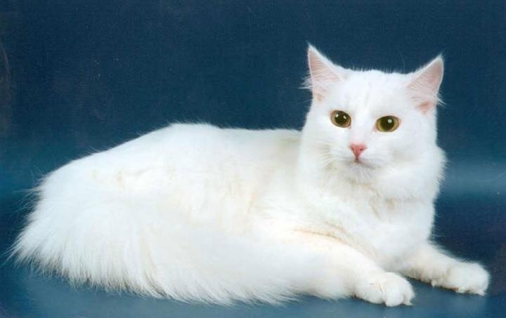 Ангарская кошка