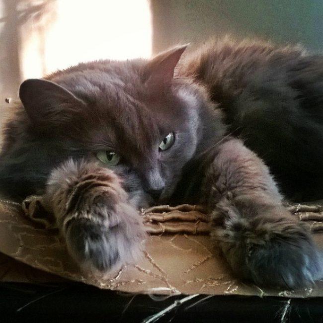 Кошка Нибелунг. Особенности ухода