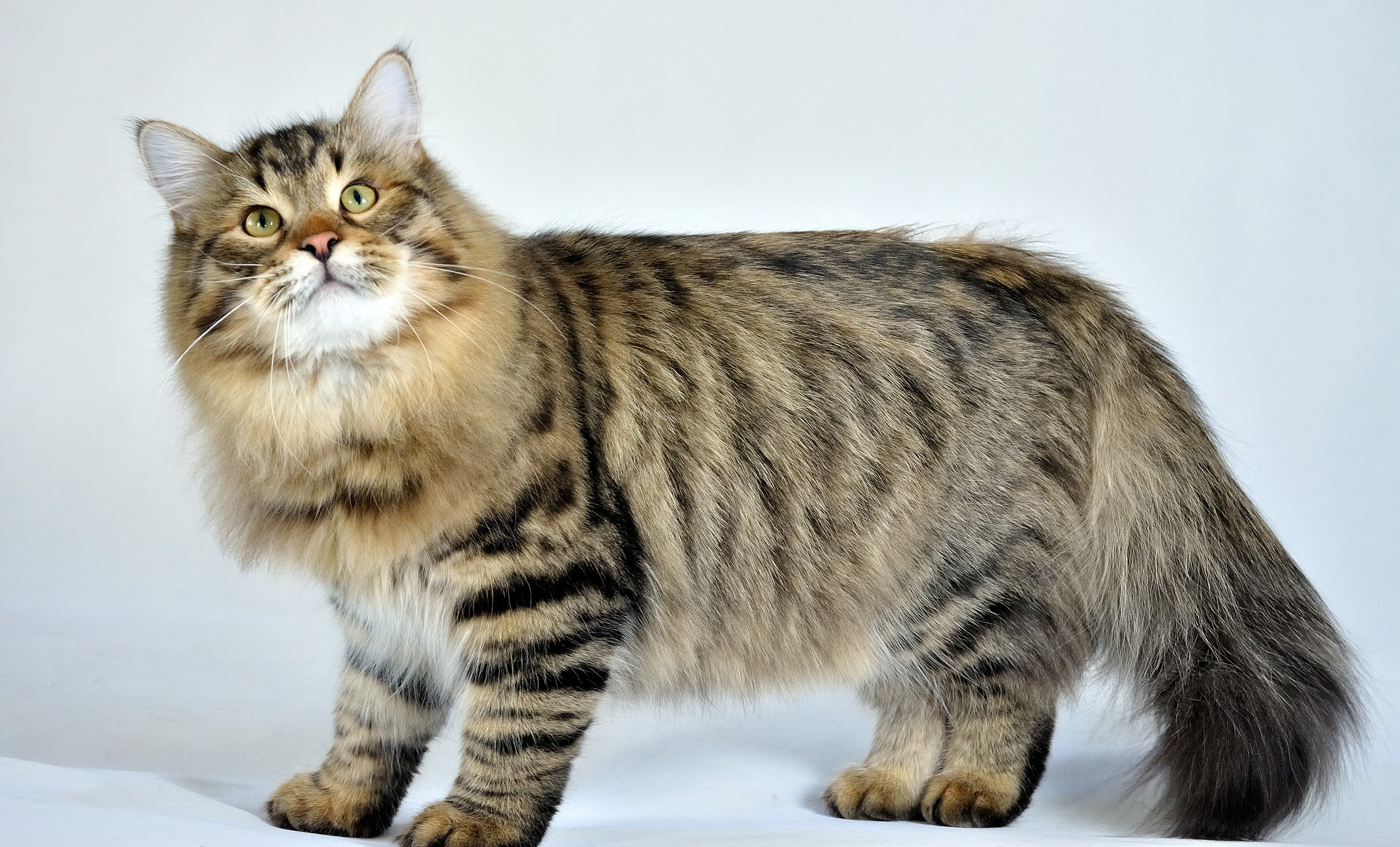 animals___cats_siberian_cat_posing_on_a_white_background_045072_