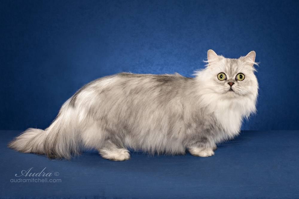 Кошка Наполеон или Менуэт