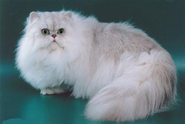 Порода кошек персидская шиншилла описание и характер