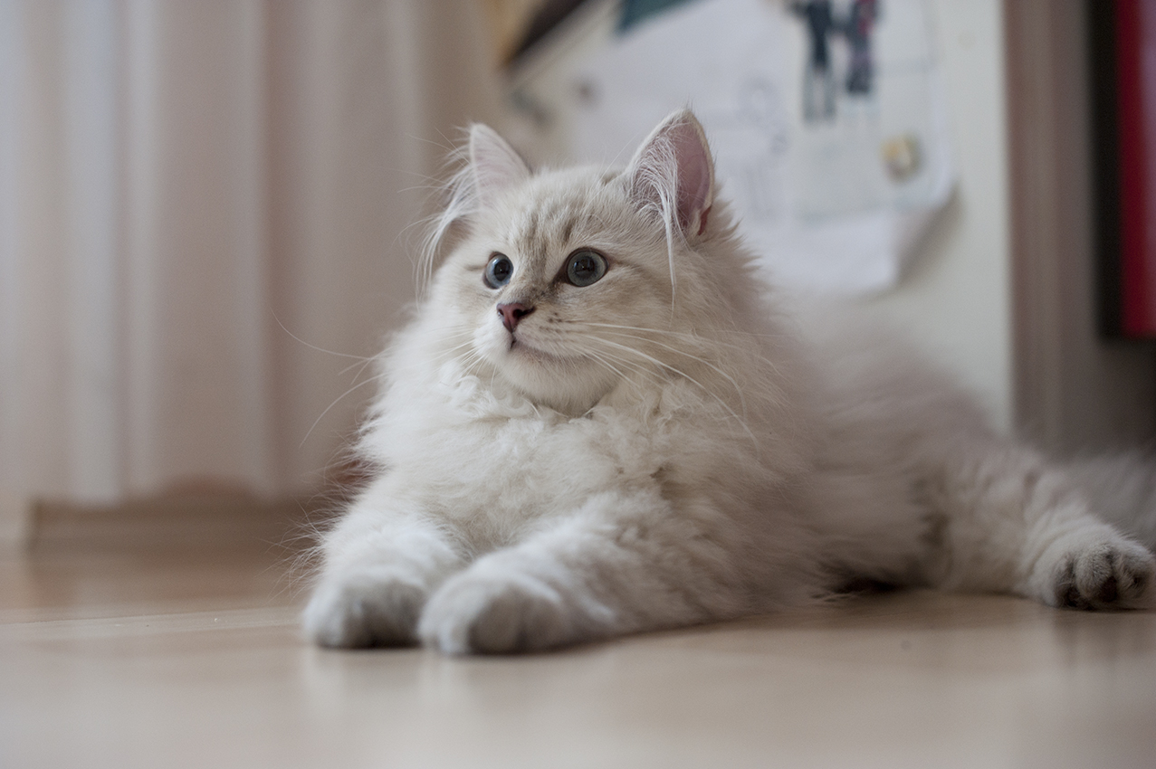 сибирская белый котенок фото вас искренне так