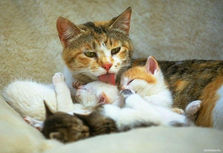 Как кормить кормящую кошку