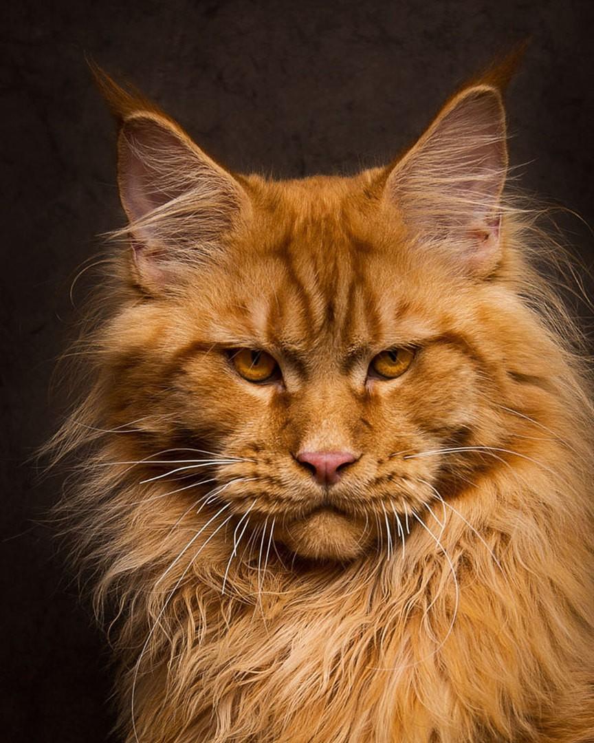 Картинка мейн кун кошка