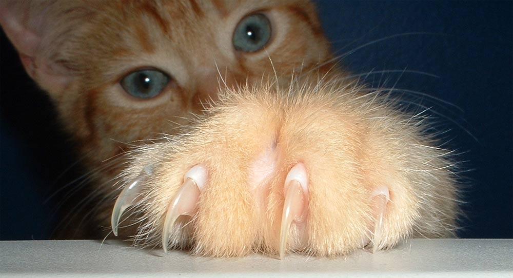 Как кошке стричь ногти