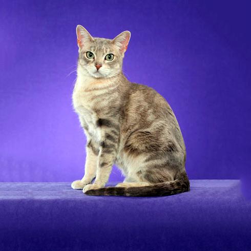 Австралийский мист или Австралийская дымчатая кошка