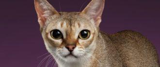 Уход и содержание сингапурской кошки