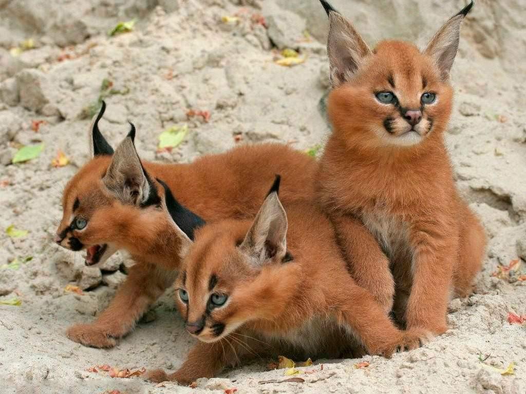 Каракал, фото котята