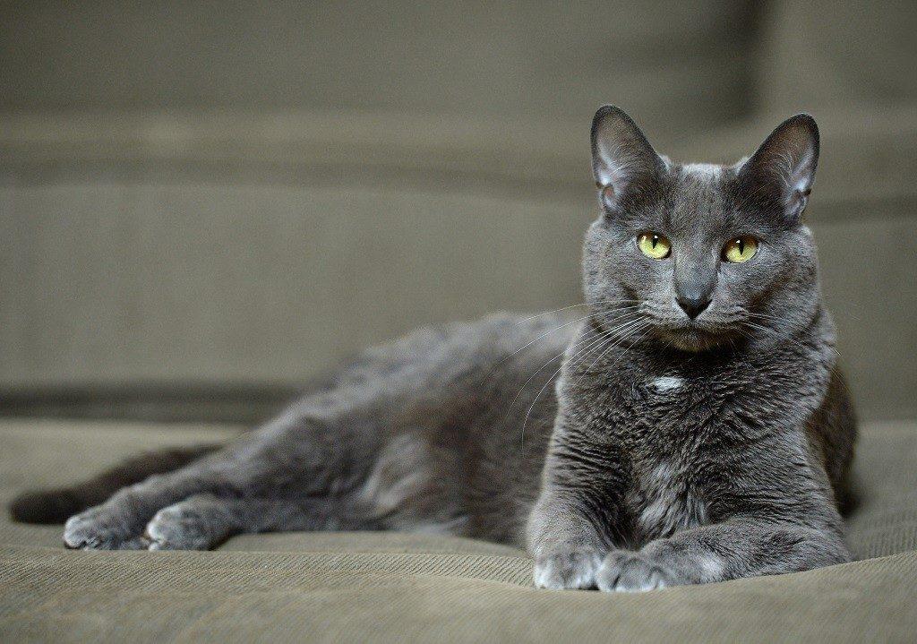 Кошка корат особенности ухода и содержания