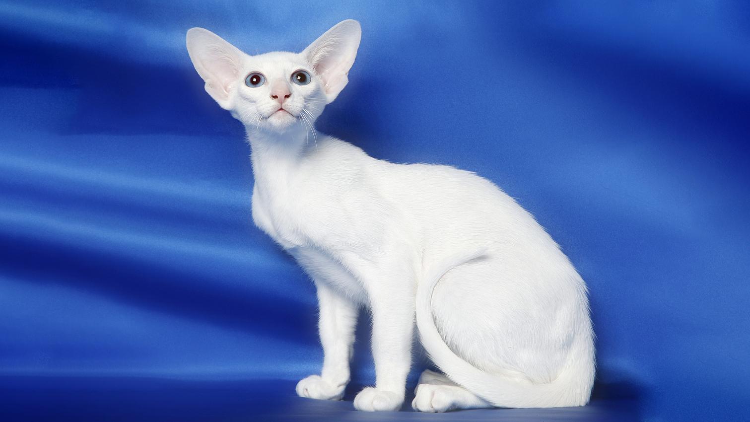Белая сиамская кошка с голубыми глазами: особенности породы
