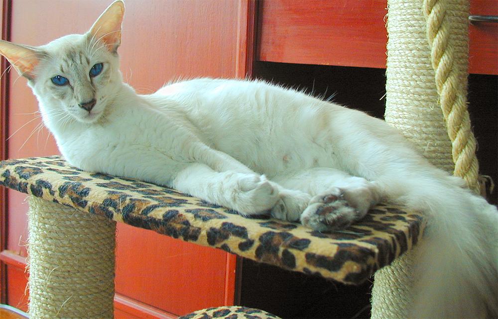 Яванез или яванская кошка фото