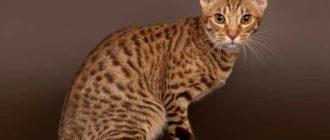 Кошка породы оцикет