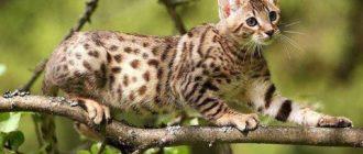 Кошка Серенгети – эталон статности и величия