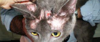 Лишай у кошек: как вовремя заметить и вылечить