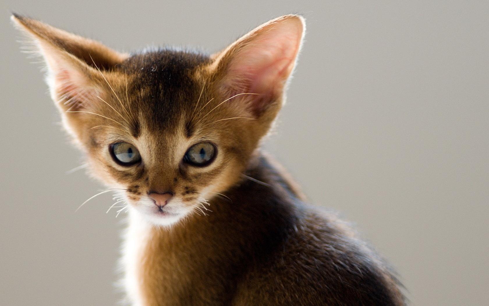 картинки пород кошек с большими ушами проектом
