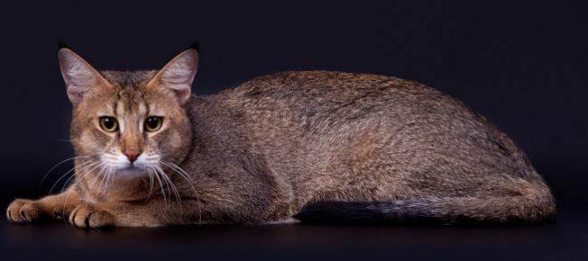 Кошки породы Чаузи