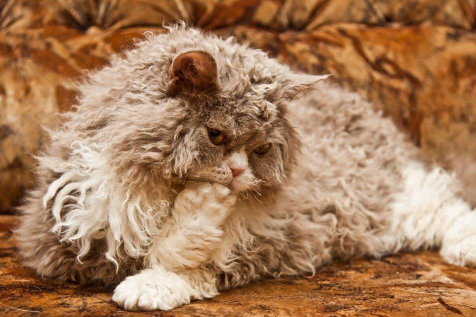 Порода кошек Селкирк-рекс