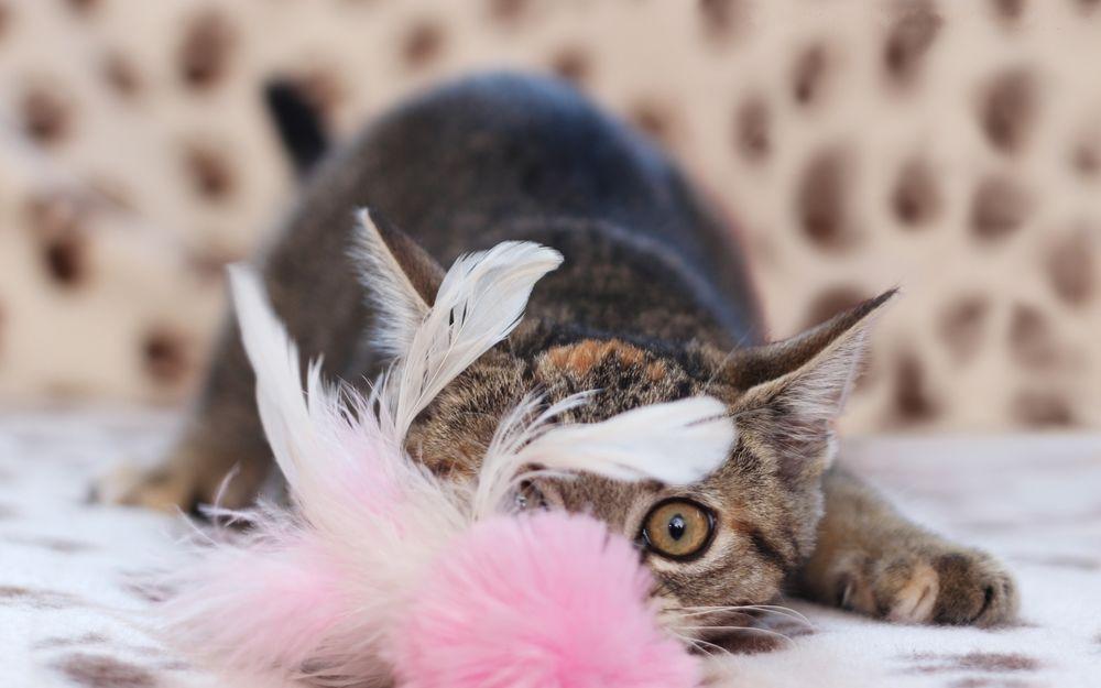 Таурин: почему он важен для здоровья кошек