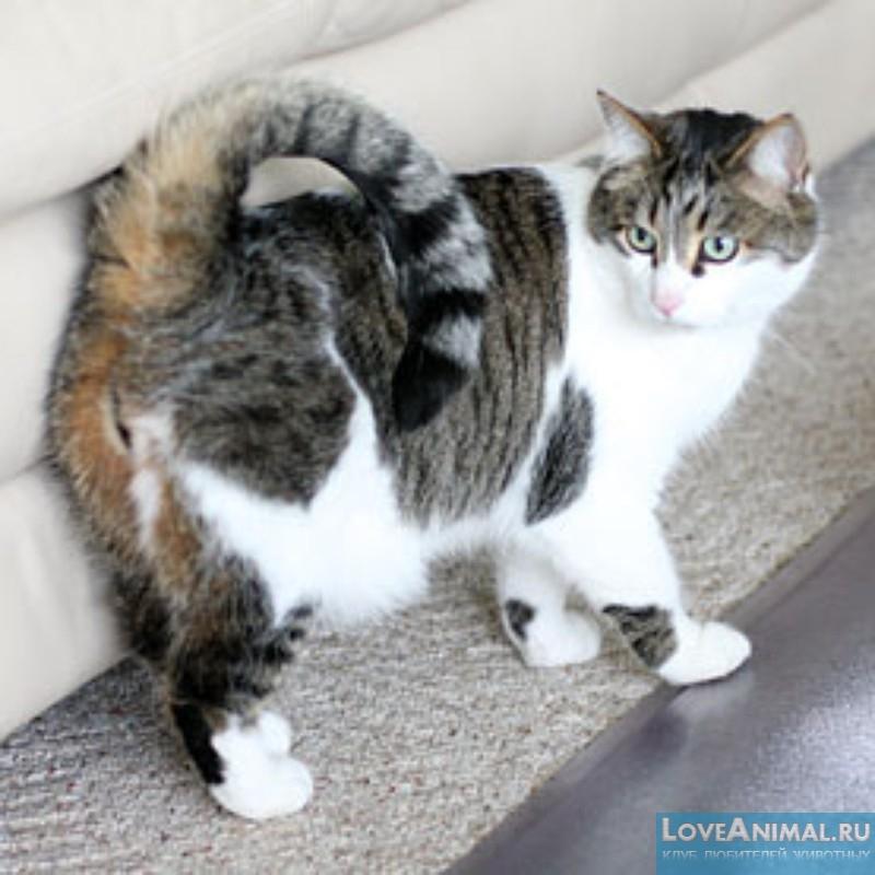 Американский рингтейл или Кольцехвостая кошка