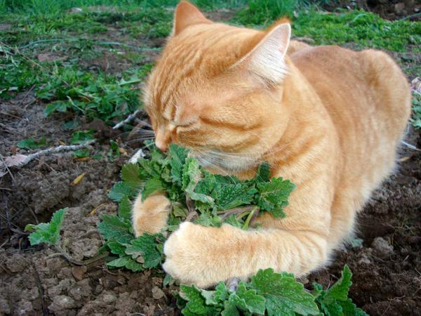 Для чего еще нужна кошачья мята?