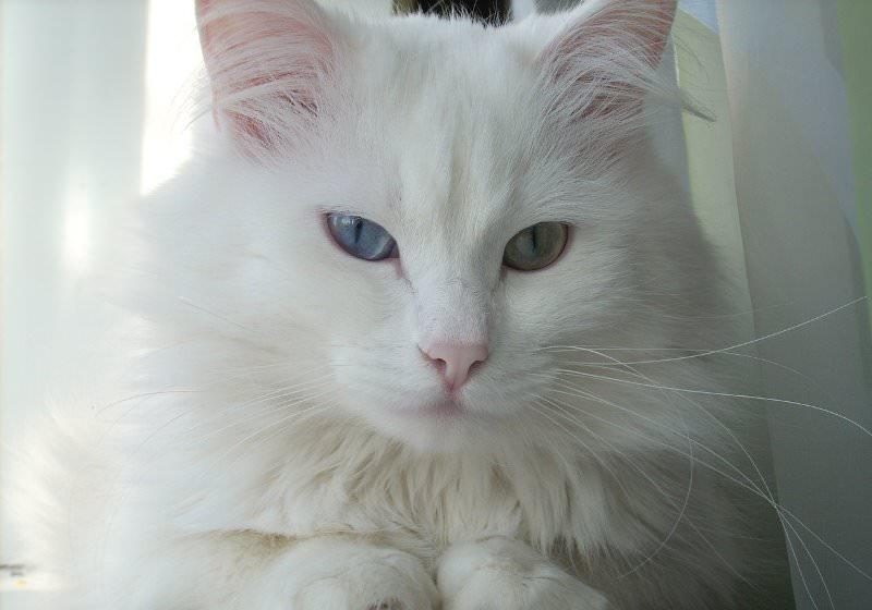 Ангарская кошка или турецкая ангора