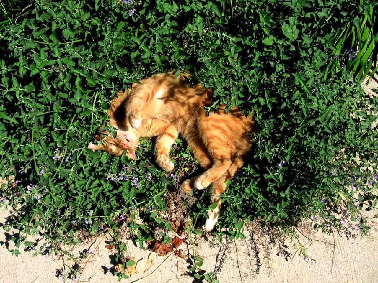 Что такое «кошачья мята»?