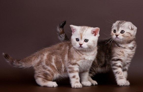 Шотландские котята википедия