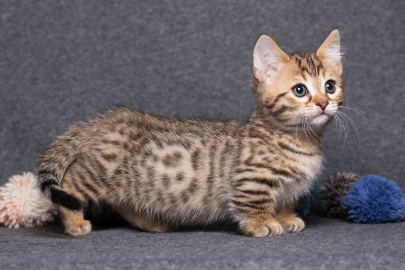 действительно, правилах порода мини кошек фото лучше