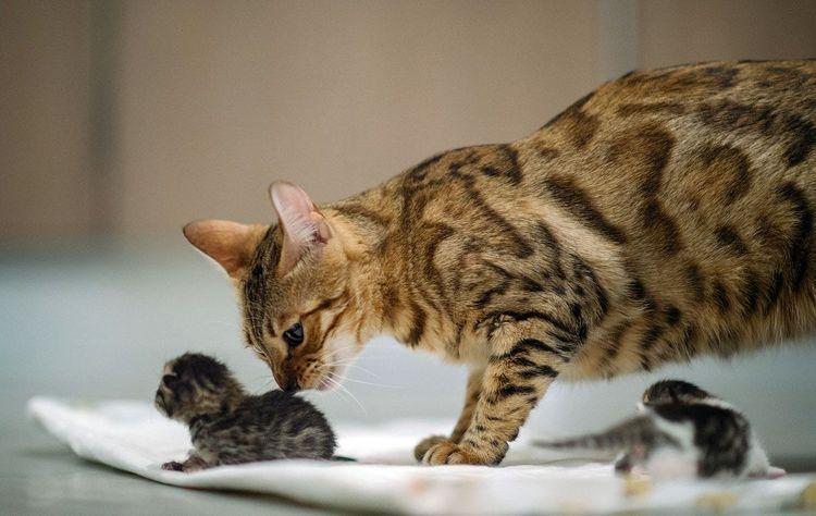 Как рожает кошка чем ей помочь Описание процесса как рожает кошка