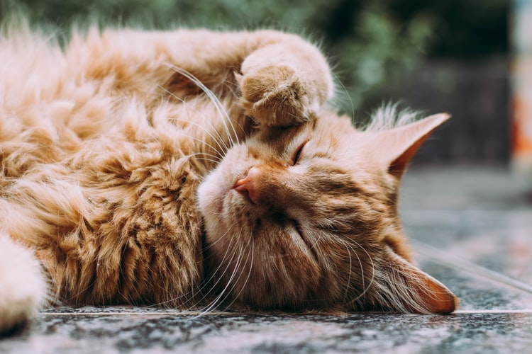 Что делать, если у кошки началась течка