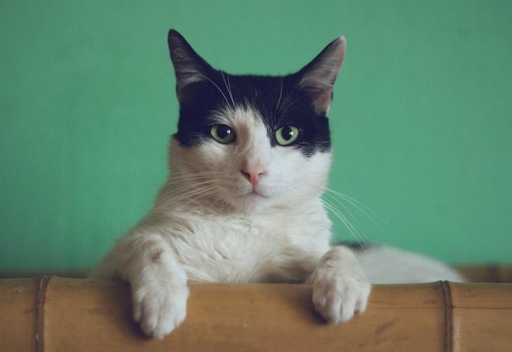 страя кошка