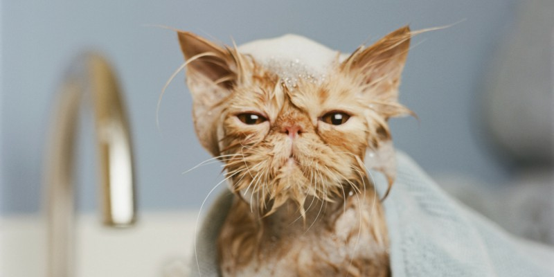 Можно ли кошек мыть обычным шампунем