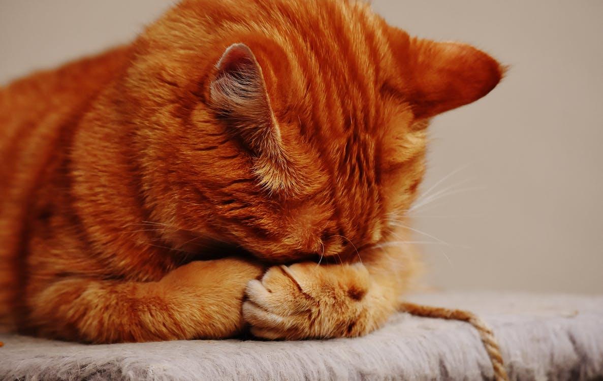 Симптомы кальцивироза у кошек