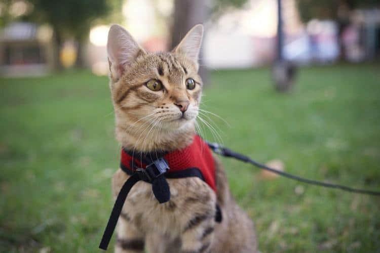 Как правильно выбрать шлейку и кошачий поводок