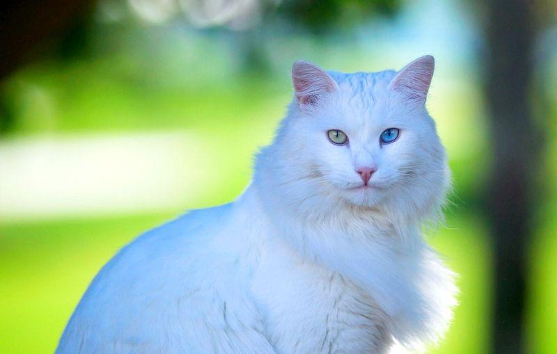 Особенности содержания белой кошки