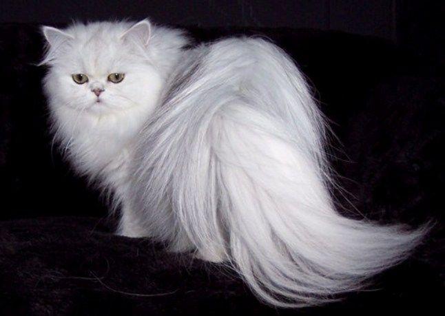 Характер белой кошки