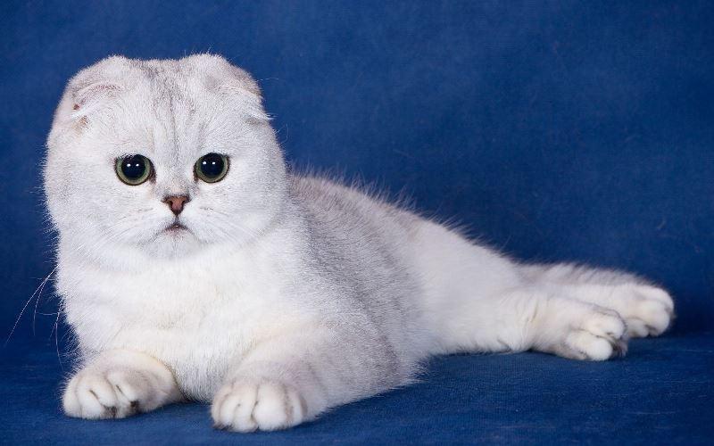 Как ухаживать за шерстью белой кошки