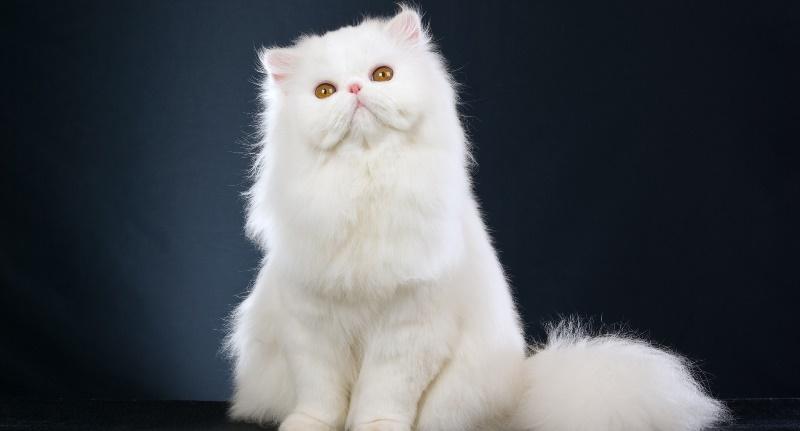 Белые кошки: приметы и суеверия