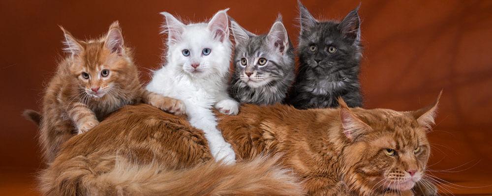 Каким семьям подходят котята мейн-кун