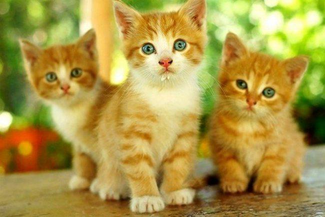 Рыжие котята в вашем доме