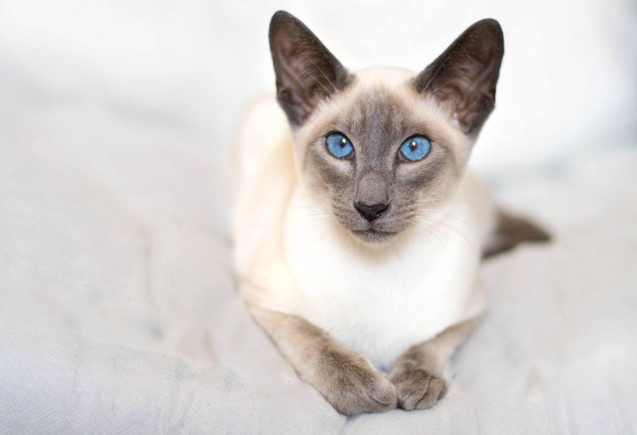 Как выглядит сиамский кот