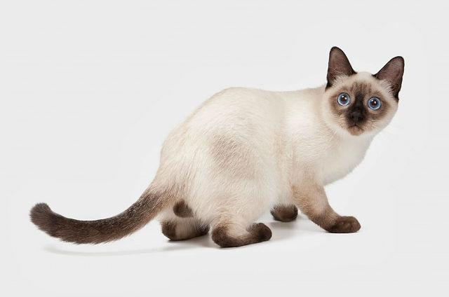 Тайская и сиамская кошки: история пород