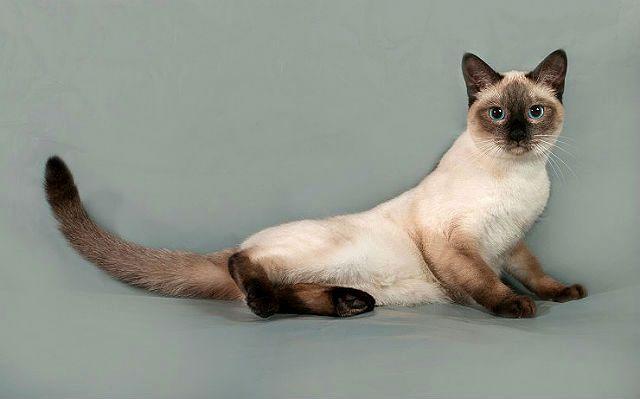 Тайский кот: характер и способности