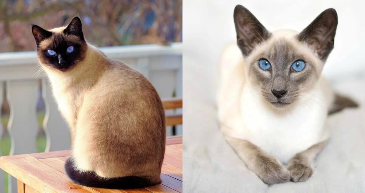 Чем отличается тайская кошка от сиамской