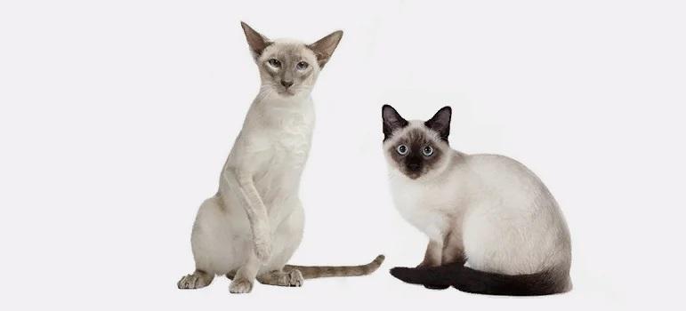 В чем отличия тайской и сиамской кошек