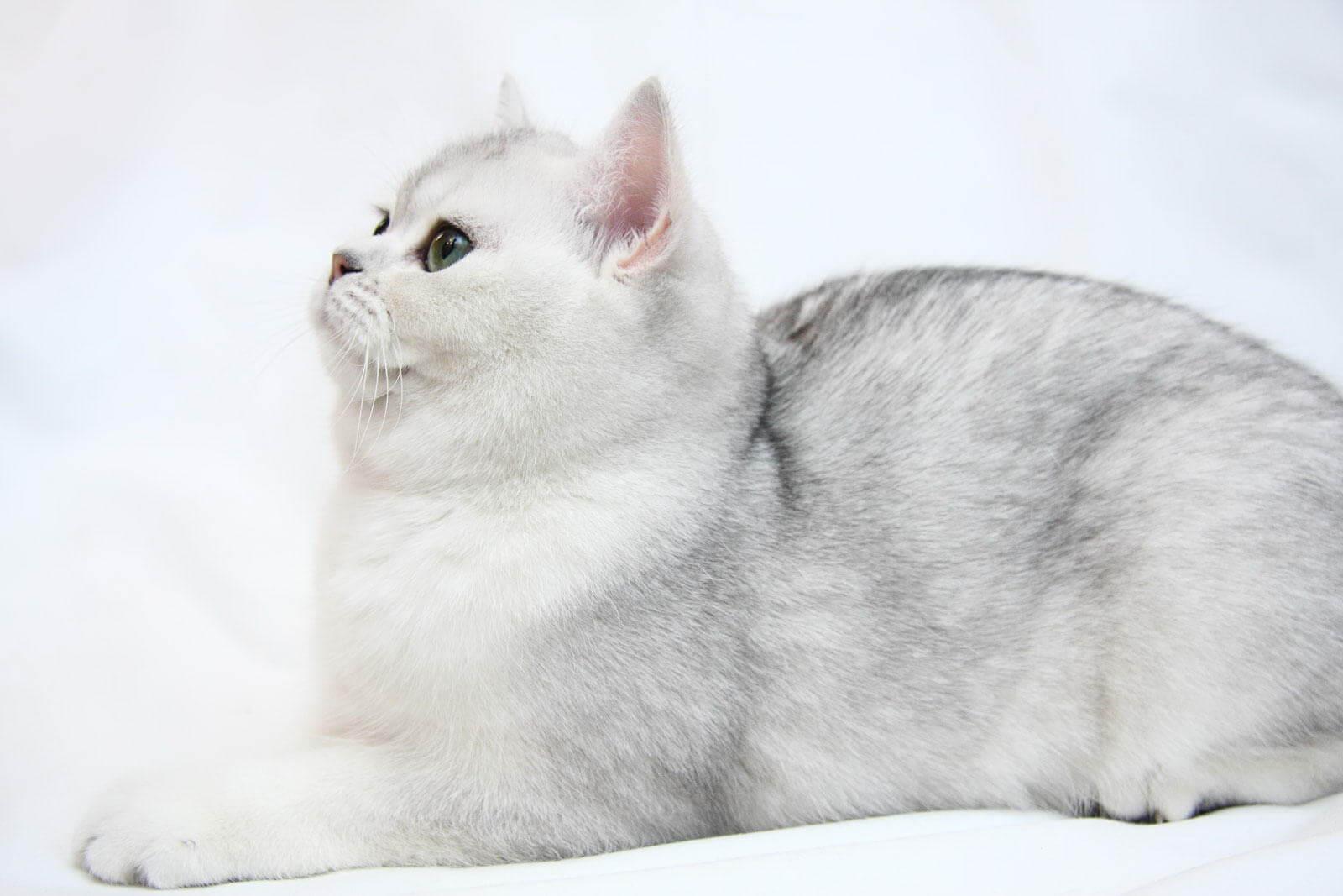 Кошки с серебристым окрасом