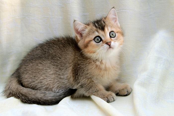 тикированный окрас кошки