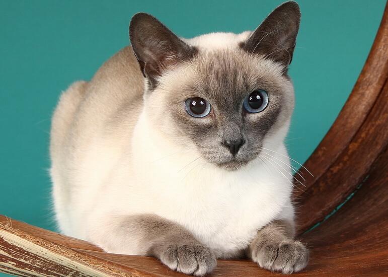 Сиамские окрасы кошек